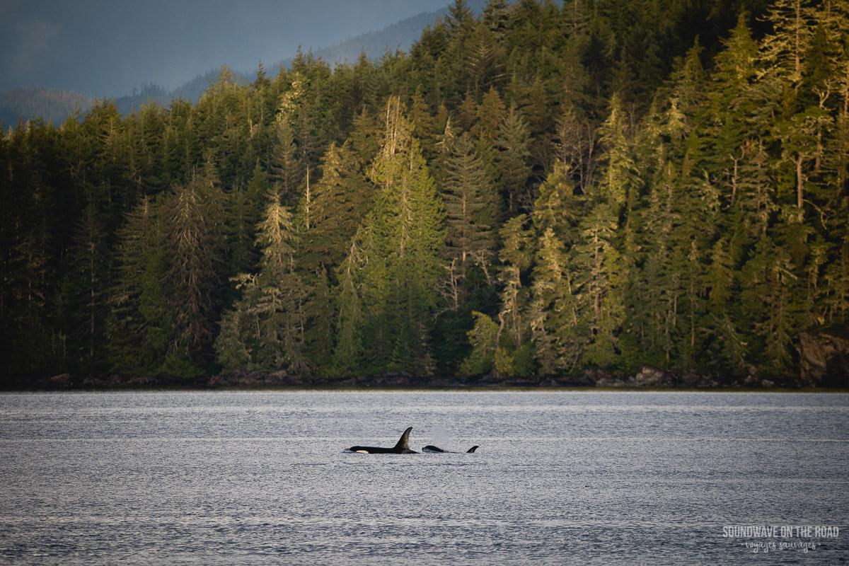 A34s - Volontariat avec les orques résidentes du Nord au Canada