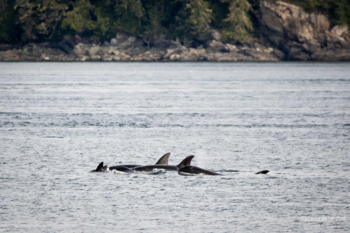 Voir des orques nomades au Canada