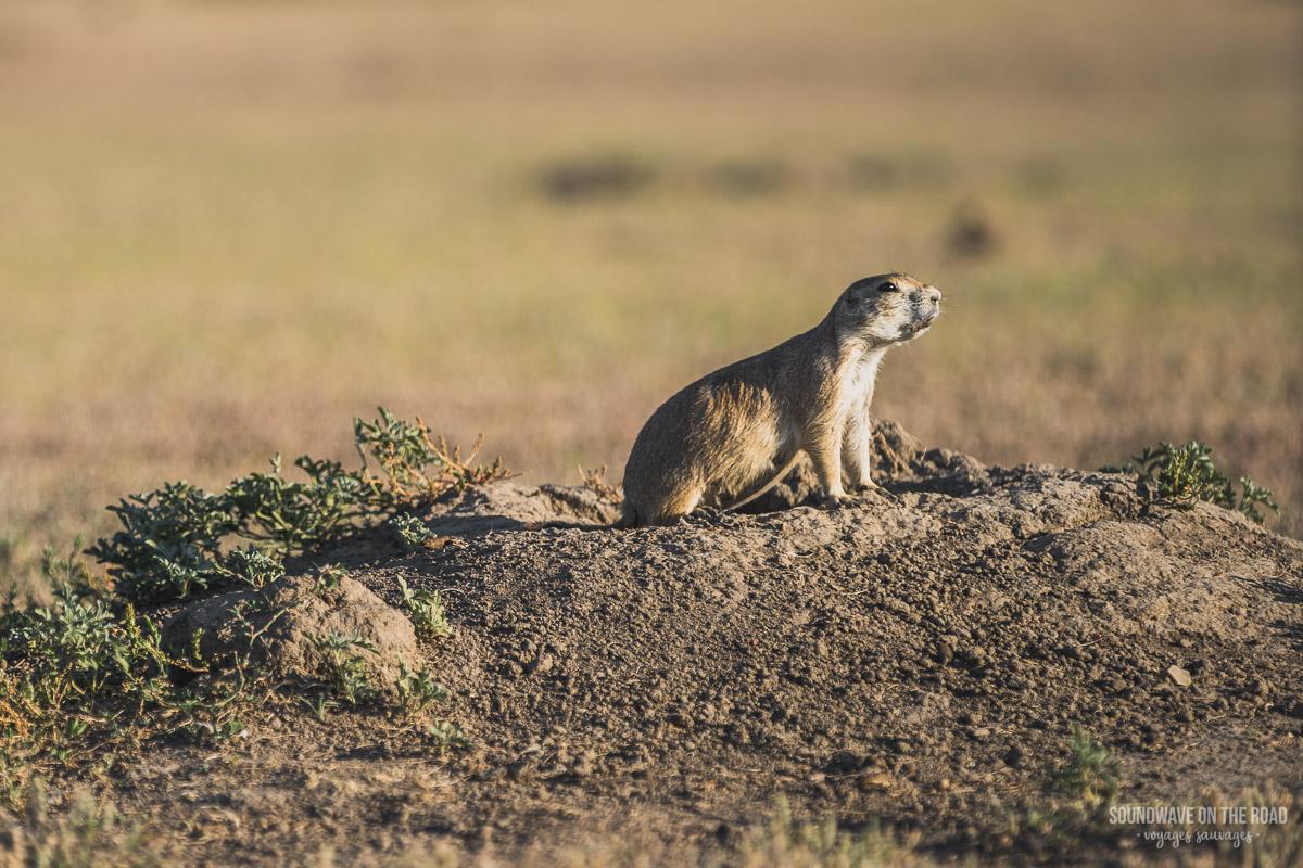 Oberver les chiens de prairie dans le Parc National des Grasslands