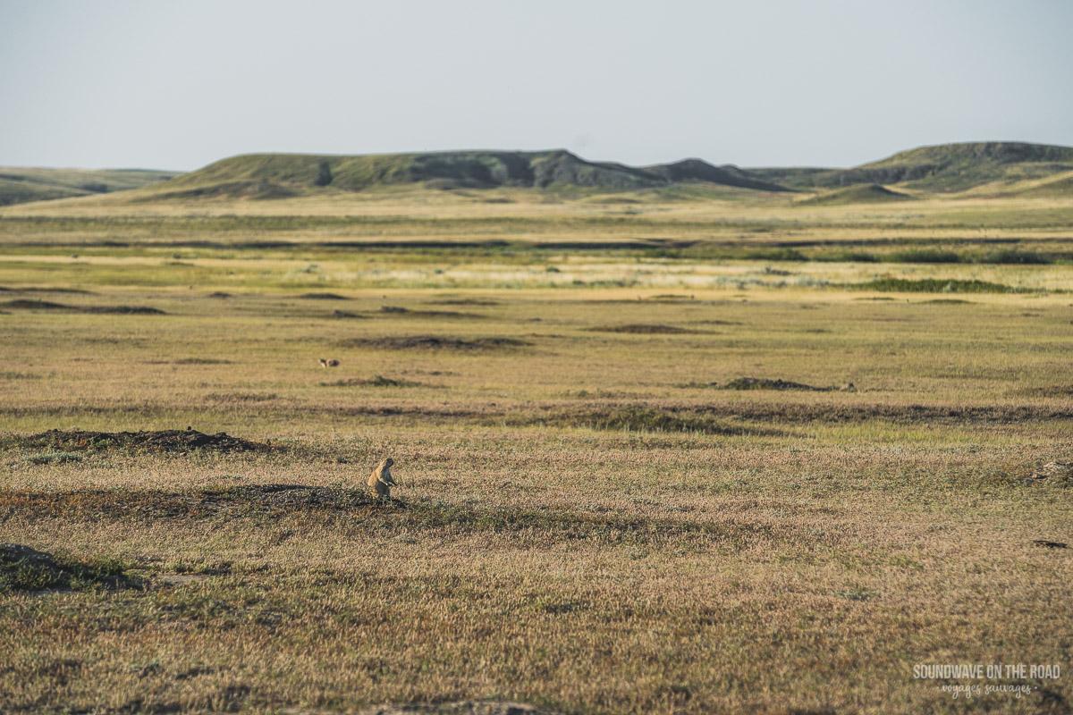 Village de chiens de prairie dans le Parc National des Grasslands