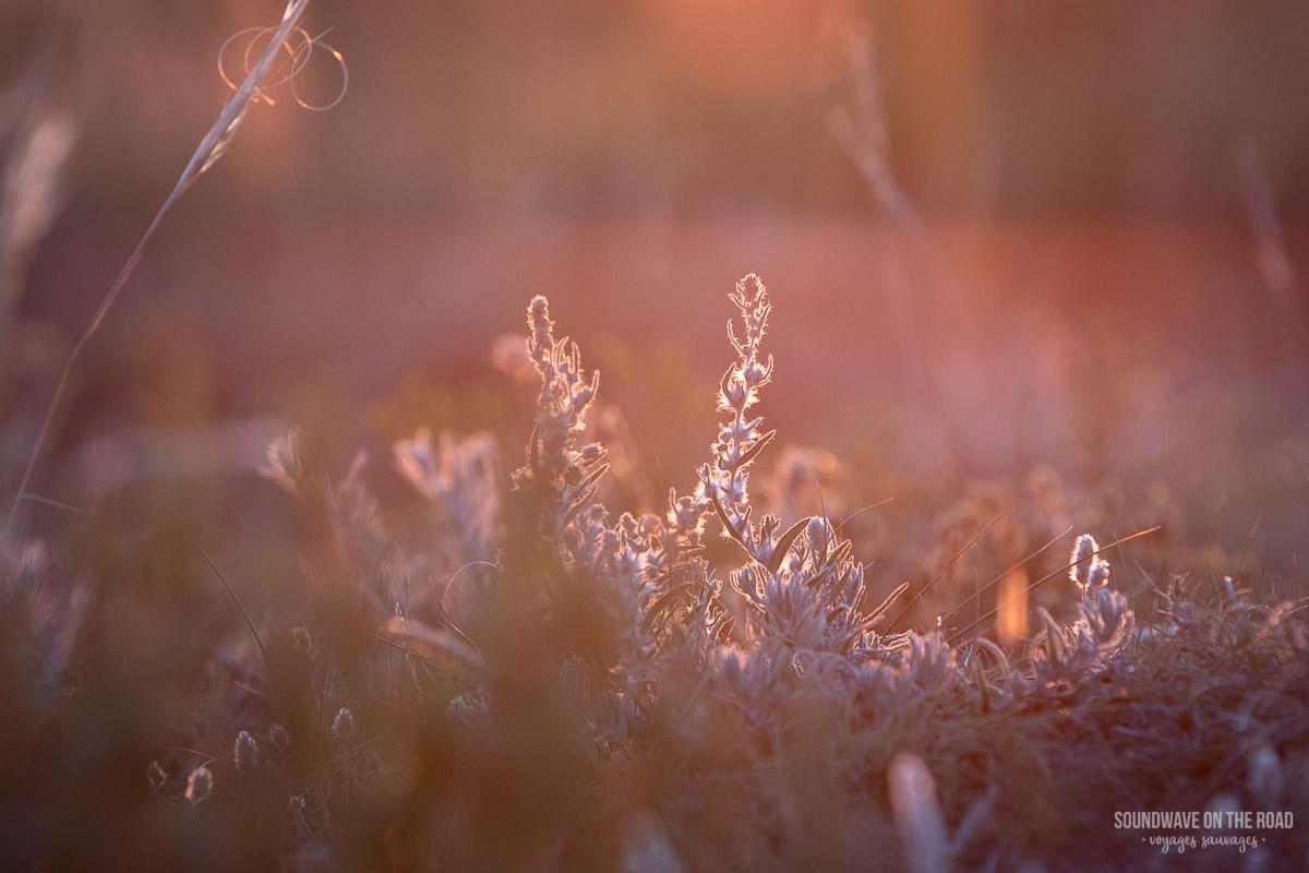 Photo macro de la flore des Grasslands