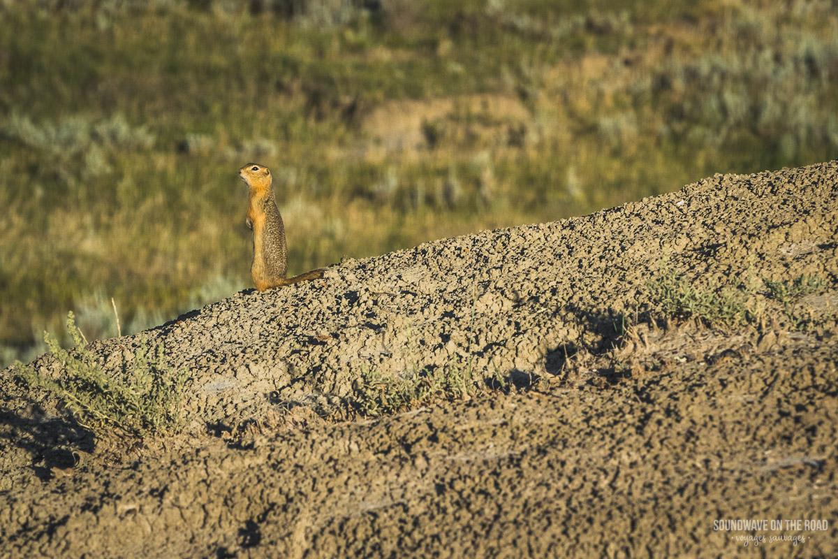Chien de prairie dans les Grasslands au Canada