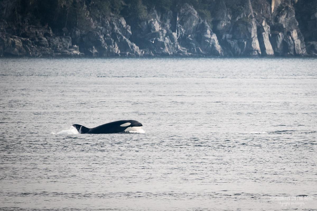 Bigg's orca