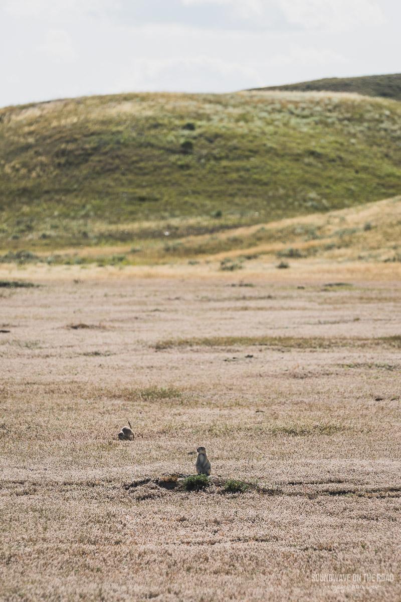 Village de chiens de prairie à queue noire