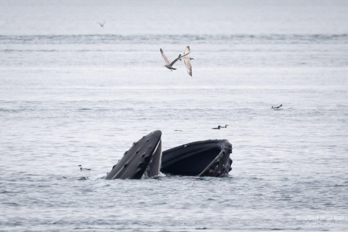 Voir des baleines à bosse au Canada