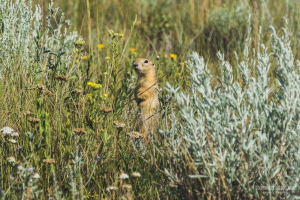 Voir Des Chiens De Prairies Dans Les Grasslands