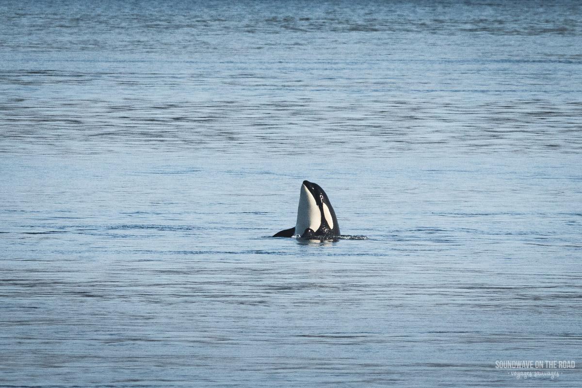 Voir des orques au Canada