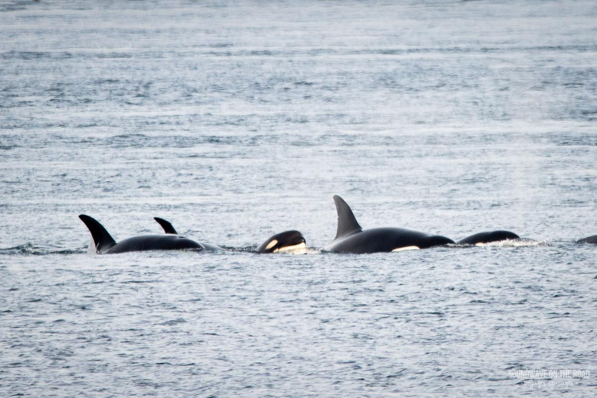 Voir des orques de manière responsable au Canada